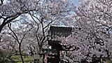 高遠城址公園桜雲橋