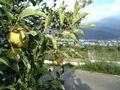kanzawa-apple